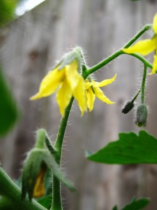 Yellow Tomato Flowers by Glenda Green, http://bit.ly/U1ge6k