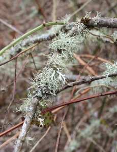Oak Moss Lichen. Photo by Lupa, 2013.