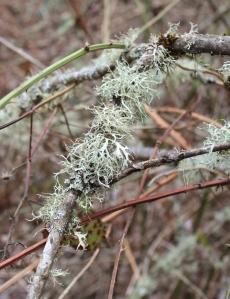 Oak Moss Lichen. Photo by Lupa, 2013.