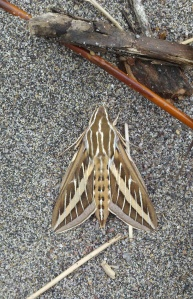 White-lined sphinx moth. Lupa, 2013.