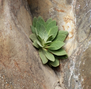Common mullein growing in a crevice in Picture Gorge, OR. Lupa, 2013.