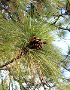 Ponderosa pine cone and needles. Lupa, 2013.