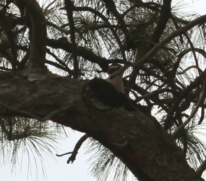 A not-particularly-good picture of the hairy woodpecker I saw, but I rarely get wildlife shots at all, so you get to see this one. Lupa, 2013.