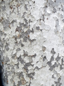 Sycamore bark, Alum Rock Park, San Jose, CA. Lupa, 2014.
